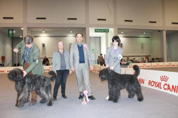 "IDS Padova, Bouviers Des Flandres Specialty (judge: Biasiolo): Quinn - Zennah vd Vanenblikhoeve aka ""Chenier"" (16 months, junior class) is 1 exc BEST JUNIOR IN SPECIALTY and BOS! Breeder: H. Bruintjes-Schaap Owner: Wise Beard Bouviers Cabiria (22 months, intermediate class female) is 1 exc CAC CACIB, BOB and BEST IN SHOW SPECIALTY!! She has taken all the cac to become Italian Champion, she still needs to pass the working trial. Breeder and owner: Wise Beard Bouviers"