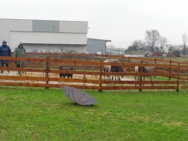 Lavoro di conduzione dei bovini